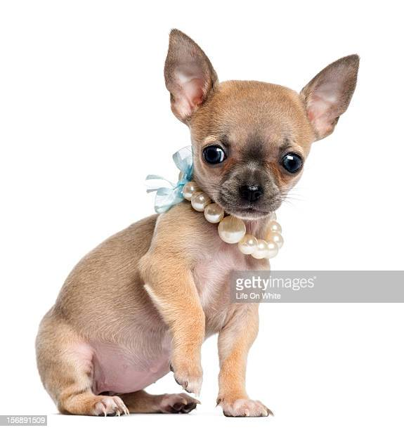 Chihuahua puppy wearing a pearl necklace
