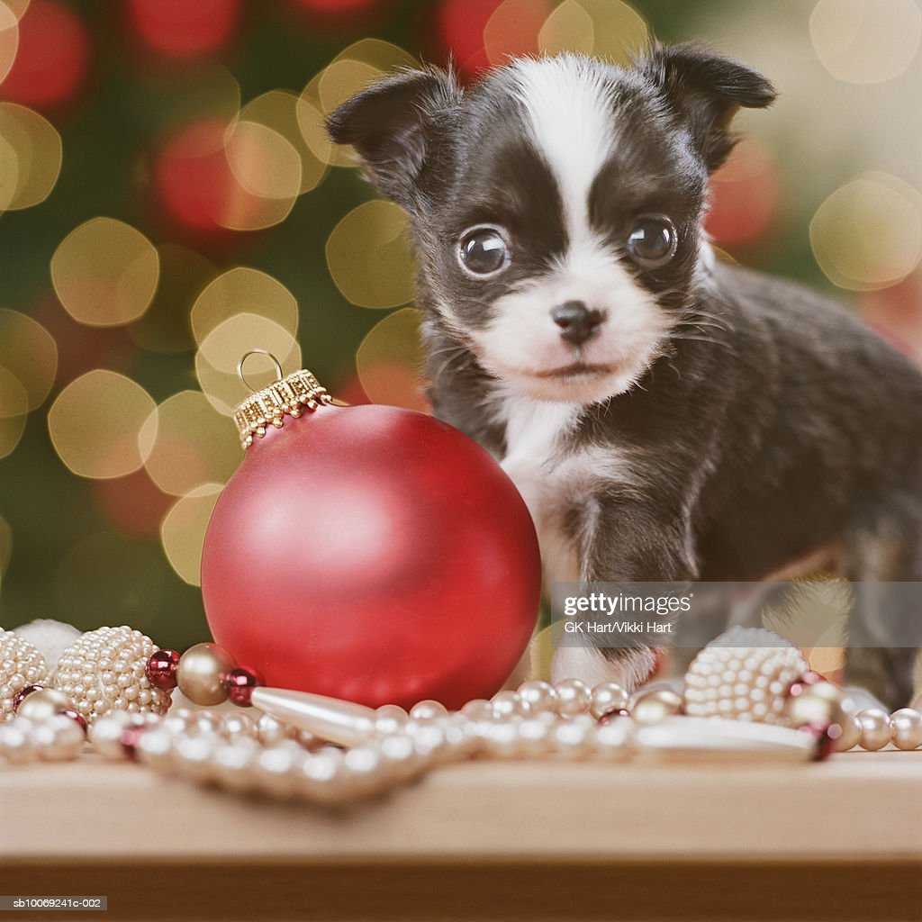 Chihuahua Puppy with Christmas bauble, close-up : Stockfoto