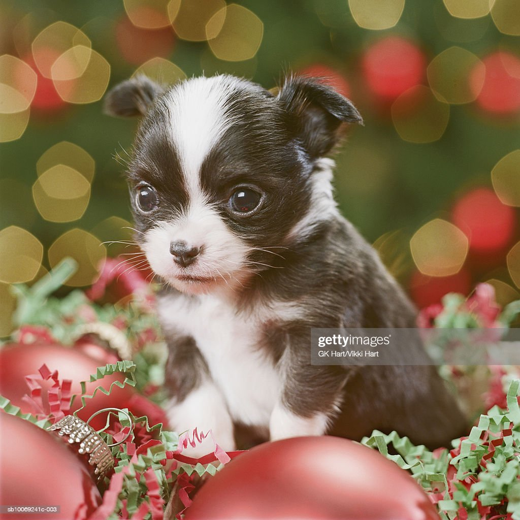 Chihuahua Puppy with Christmas baubles, close-up : Stockfoto