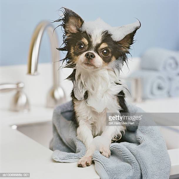 chihuahua puppy wrapped in towel on sink, close-up - pampered pets stock pictures, royalty-free photos & images