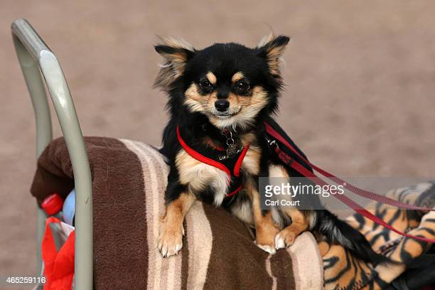 Chihuahua rests on a trolley on the first day of Crufts dog show at the National Exhibition Centre on March 5 2015 in Birmingham England First held...