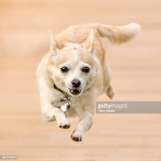 Chihuahua running forward