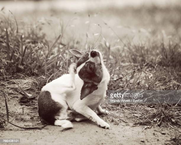 Chihuahua Scratching Head On Field