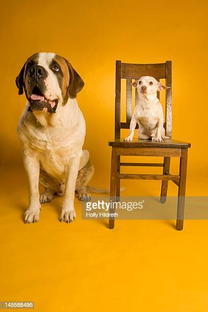 chihuahua sitting on chair - lap dog stock pictures, royalty-free photos & images