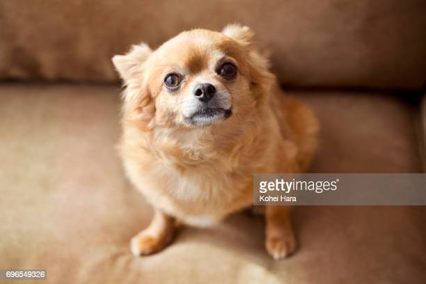 Chihuahua sitting on the sofa