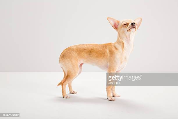 chihuahua sniffing food, studio, grey background - chihuahua raça pura - fotografias e filmes do acervo