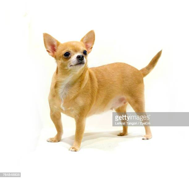 chihuahua standing against white background - chihuahua dog stock pictures, royalty-free photos & images