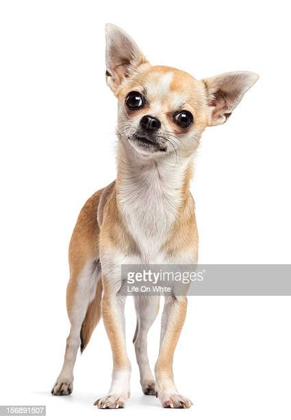 Chihuahua standing and looking at the camera