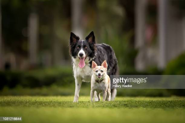 chihuahua standing in front of border collie - 愛玩犬 ストックフォトと画像