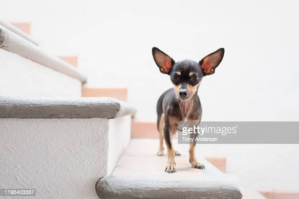 chihuahua standing on stairs looking at camera - one animal stock pictures, royalty-free photos & images