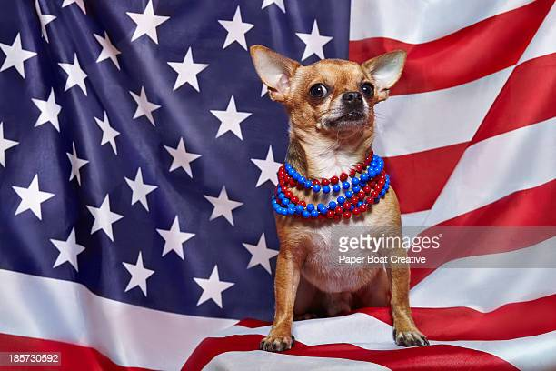 chihuahua standing proudly on usa flag - parti politique photos et images de collection