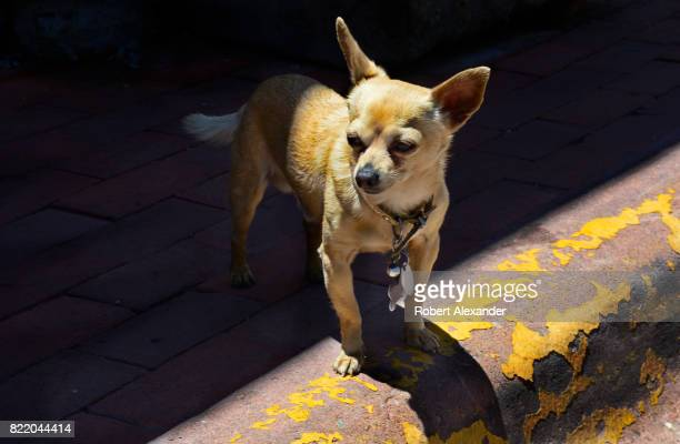 A chihuahua stands on the curb outside a shop while its owner shops in Santa Fe New Mexico