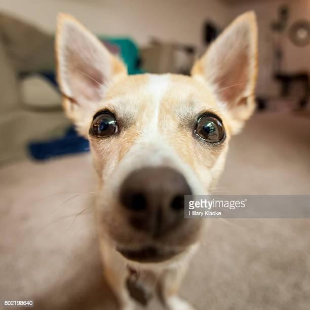 Chihuahua up close