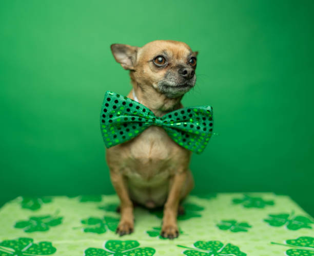 Chihuahua wearing a bowtie for St. Patricks day