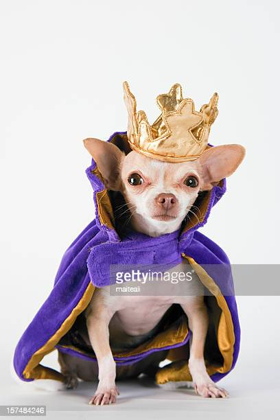 chihuahua wearing a purple robe and crown - prins koninklijk persoon stockfoto's en -beelden