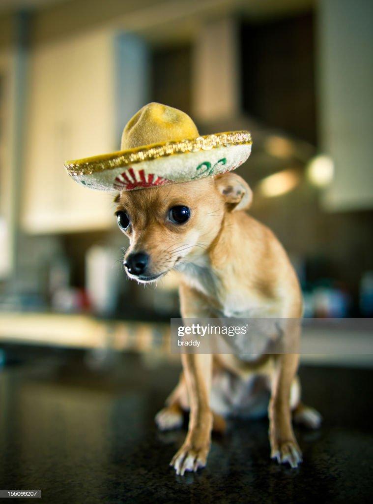 Chihuahua wearing a sombrero : Stock Photo