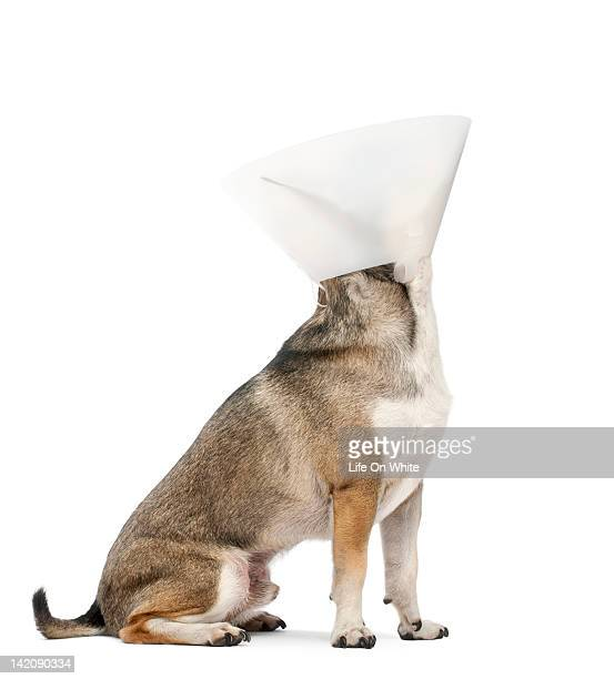 chihuahua (4 years old) wearing a space collar - elizabethan collar stock photos and pictures
