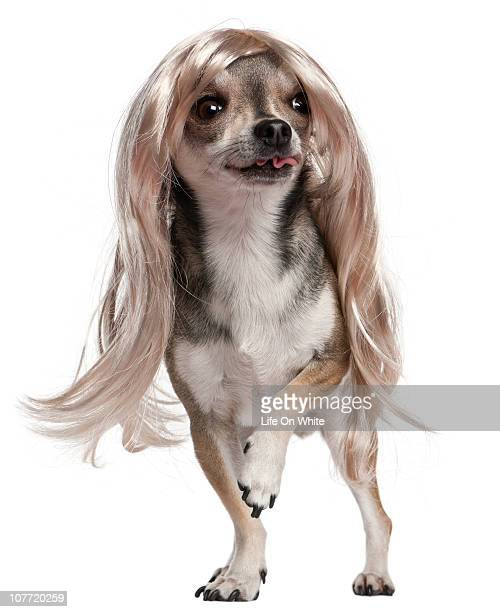 Chihuahua wearing a wig (3 years old)