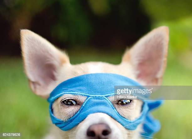 Chihuahua wearing blue mask