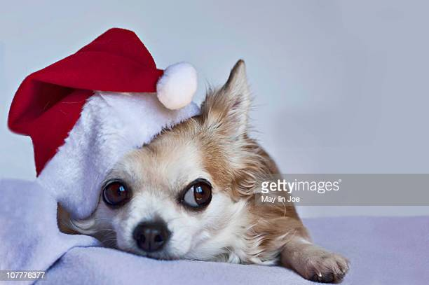 Chihuahua wearing Christmas hat.