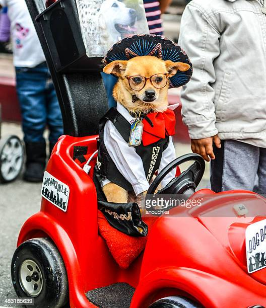 chihuahua wearing mexican costume in toy car - cinco de mayo stock photos and pictures