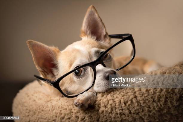 chihuahua wearing reading glasses - animal eye stock pictures, royalty-free photos & images