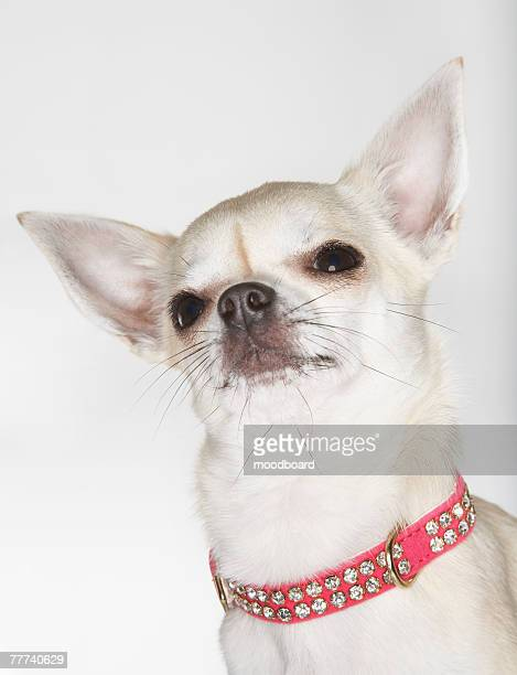 Chihuahua Wearing Studded Collar