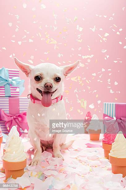 Chihuahua with confetti and birthday gifts