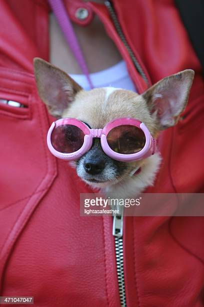 Chihuahua with goggles