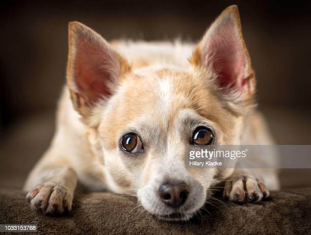 chihuahua with head down - seeing eye dog stock photos and pictures