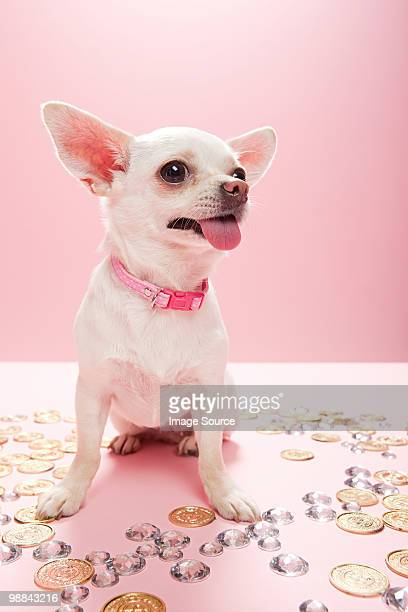 Chihuahua with jewels and coins