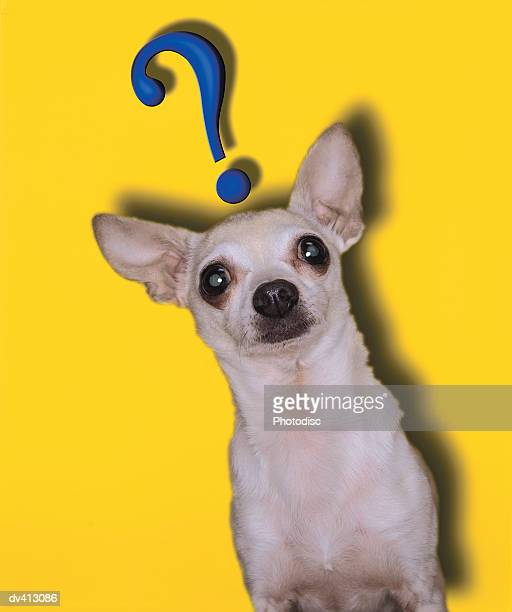Chihuahua with question mark above head