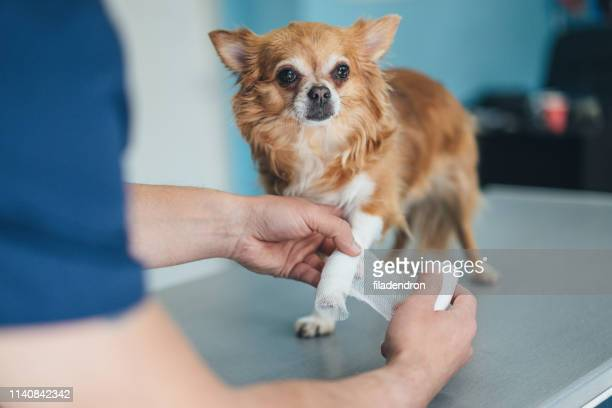 chihuahua's injured leg - bandage stock photos and pictures