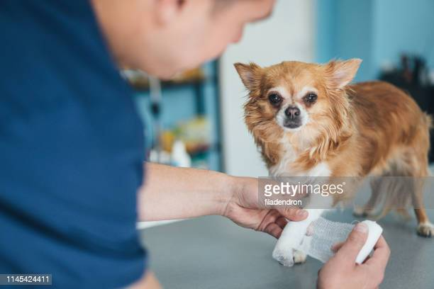 chihuahua's injured leg - long haired chihuahua stock photos and pictures