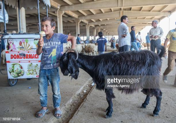 A child boy eats ice cream as he holds a goat from its horn at a livestock market ahead of the upcoming Muslim sacrificial festival 'Eid alAdha in...