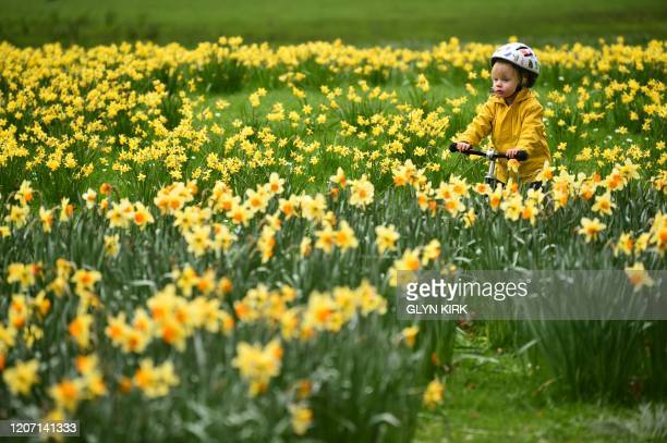 A child cycles through the daffodils in a park in central London on March 14 2020