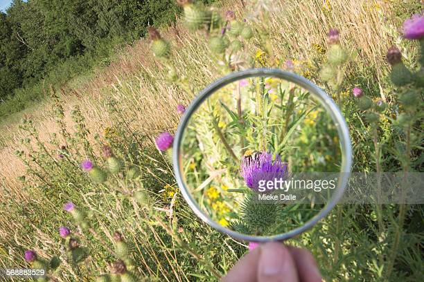 Child examining thistle with magnifying glass