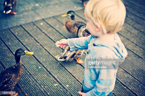 Child feeding ducks