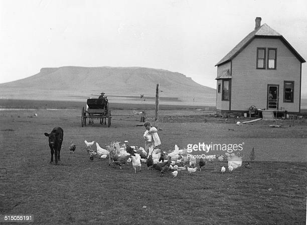 A child feeds a flock of chickens on an early American Farm Montana 1911