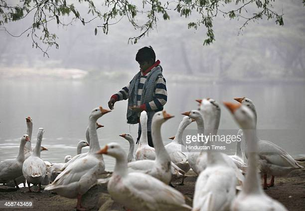 A child feeds bread to assorted ducks in the foggy and cold morning at Sanjay Lake Mayur Vihar on December 21 2013 in New Delhi India Dense fog has...