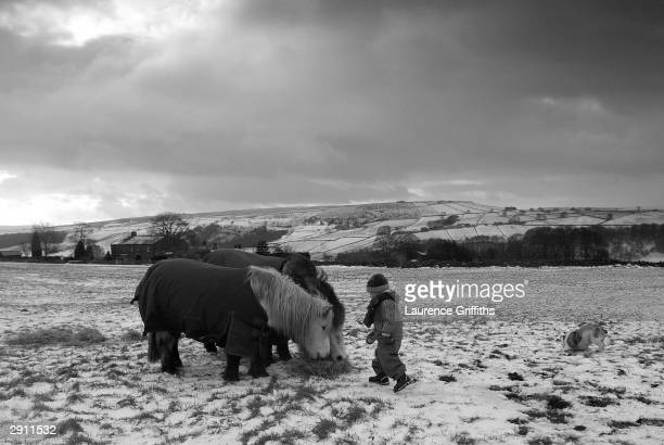 A child feeds Shetland Ponies on the Snowy hills on the West Yorkshire Moors on January 29 2004 in Hebden Bridge England