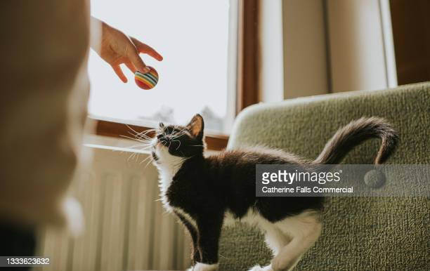 child gains kittens attention by holding a ball above him. he looks up curiously at it. - animal behaviour stock pictures, royalty-free photos & images