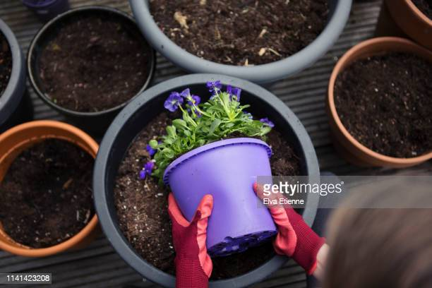 child gardening and putting flowering plants into pots in a back yard - purple glove stock pictures, royalty-free photos & images
