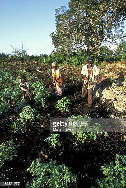 child helping family at subsistence farming, zanzibar island, tanzania, africa (intensive subsistence farming has destroyed most of natural vegetation.) - parto natural imagens e fotografias de stock