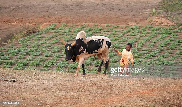 A child herds cattle in Antananarivo the capital city of Madagascar on July 21 2014 in Antananarivo Madagascar