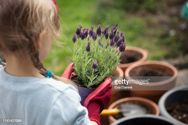 child holding lavender plant ready to plant in pots in a back yard - flowering plant stock pictures, royalty-free photos & images