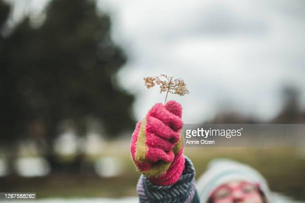 child holding out dried hydrangea flowers - sioux falls stock pictures, royalty-free photos & images