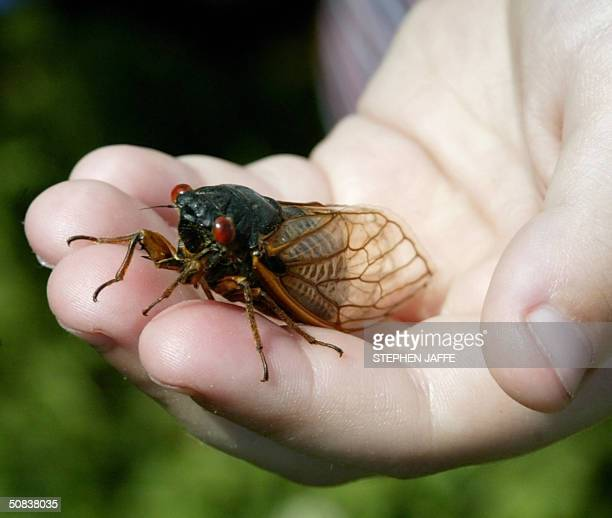A child holds up a cicada in Alexandria Virginia 14 May 2004 The cicadas have emerged after 17 years and they expected to populate the midAtlantic...