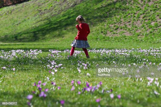 Child in a field of crocus flowers blooming in the springtime by the Wawel Castel in Krakow Poland on 1 April 2017