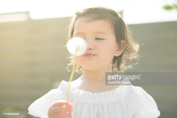 child in white dress holds and blows a dandelion in a garden in a sunny spring day - white dress stock pictures, royalty-free photos & images